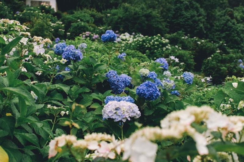 immergrüne winterharte kletterpflanzen blaue und weiße kletterhortensie mit grünen blättern