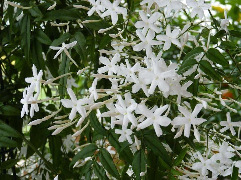 ist jasmin eine mehrjährige pflanzen jasmin überwintern kletter jasmin winterhaft echter jasmin kletterstrauch im garten