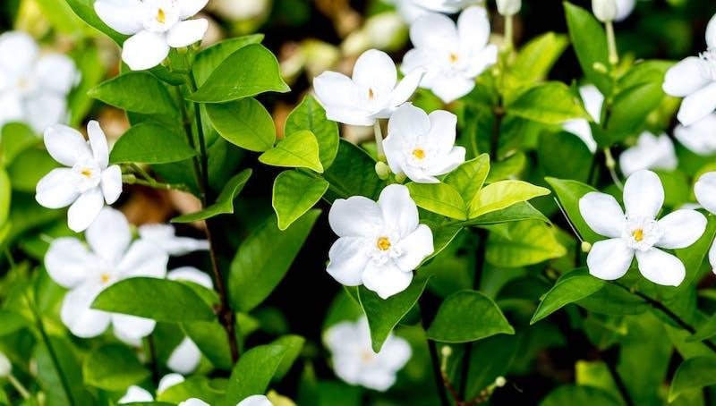 jasmin arten ist toskanischer jasmin winterhart jasmin kletterpflanze falscher jasmin weiße blüte