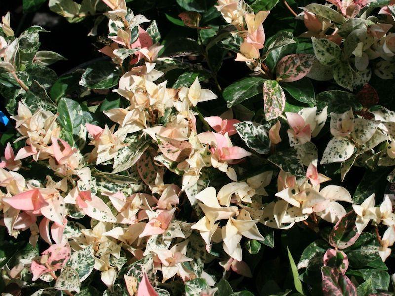 buntbl‰ttriger sternjasmin 'tricolor' trachelospermum asiaticum 'tricolor'