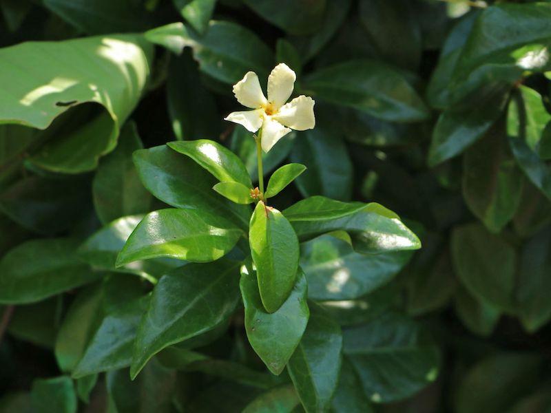sternjasmin / toskanischer jasmin 'star of toscane' trachelospermum jasminoides 'star of toscane'