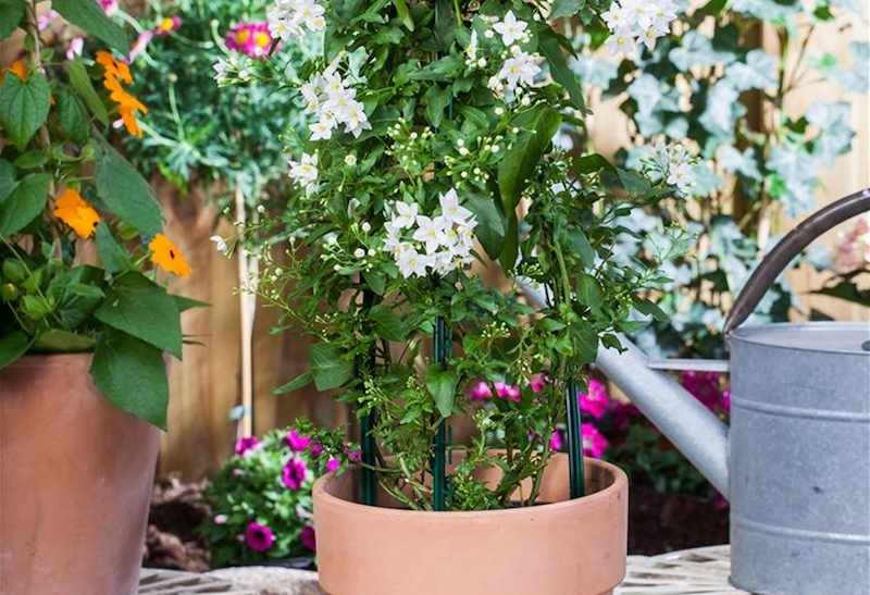 jasmin pflanze jasminblütiger nachtschatten winterharter jasmin im kübel