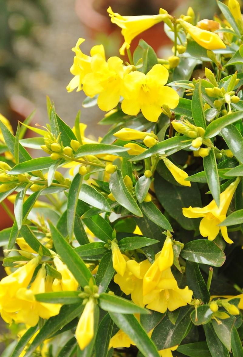 jasmin winterhart ist jasmin eine kletterpflanze jasminbaum im garten carolina jasmin