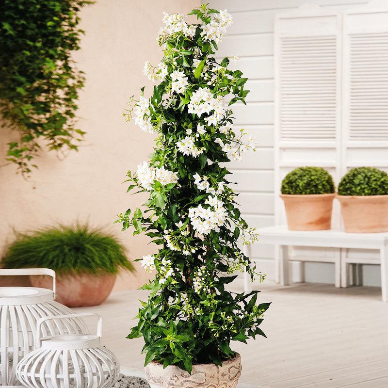 jasmin winterhart jasmin kletterpflanze jasmin baum sommer jasmin überwintern weißer jasmin in kübel