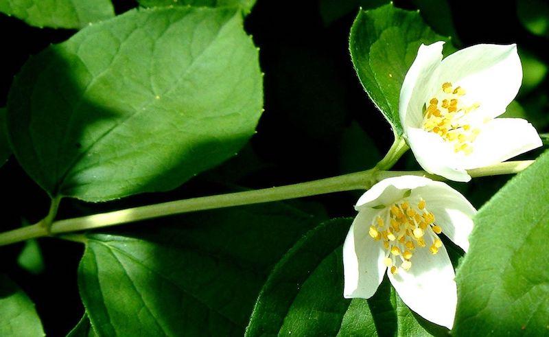 jasminbaum wie kann ich jasmin überwintern welcher jasmin duftet pfeifenstrauch falscher jasmin weiße blüte strauch