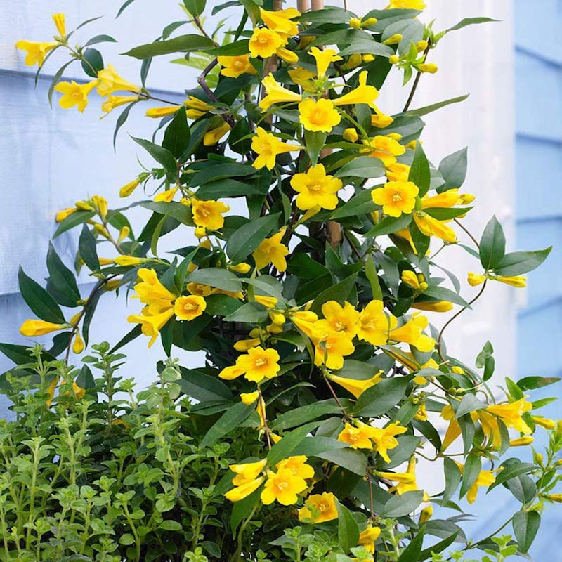 kann jasmin draußen überwintern winterharter jasmin falscher jasmin gelbe blüten strauch
