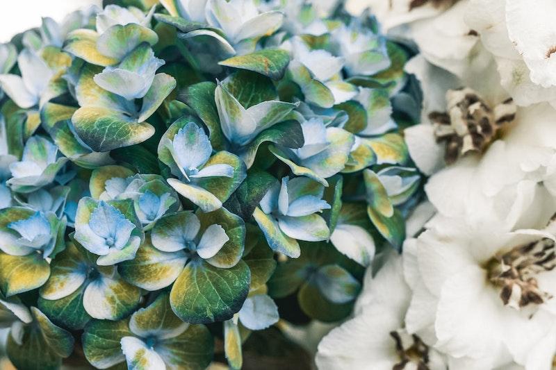 kletterpflanze immergrün winterhart blaue und weiße kletterhortensie