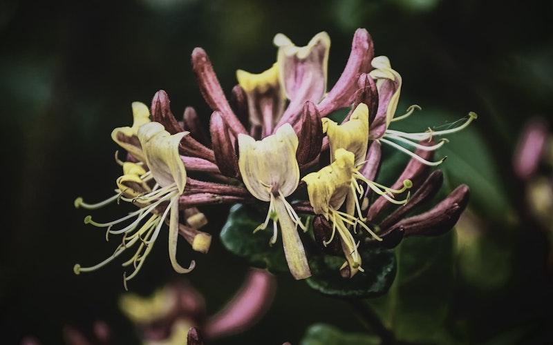 kletterpflanzen mehrjährig winterhart immergrün das japanische geißblatt blütezeit in rosa farbe