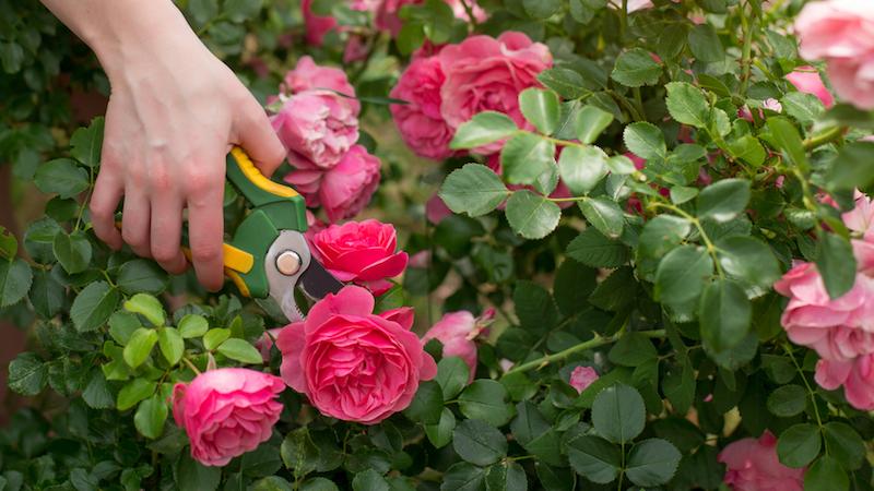 kletterrosen schneiden rosen schneiden herbst wann rosen vor dem winter schneiden rosenstrauch mit gartenschere schneiden