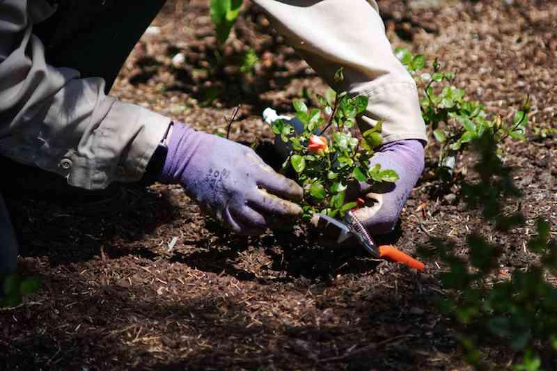 kletterrosen schneiden wann rosen schneiden rosen zurückschneiden rosen im garten pflanzen