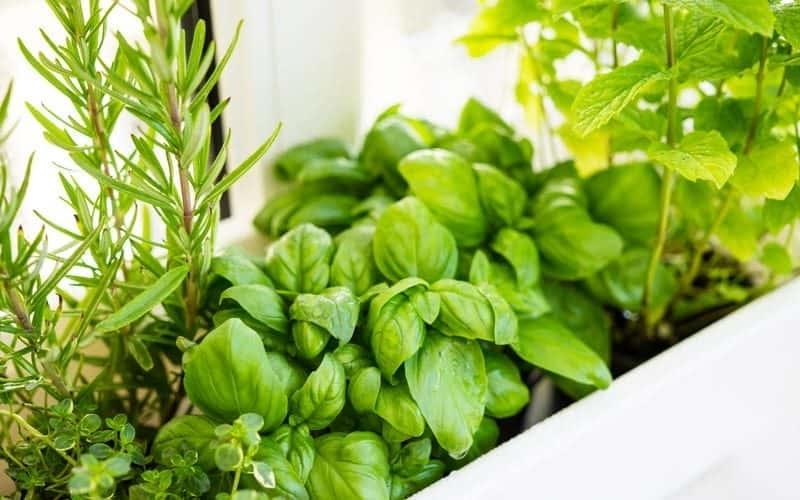 küchenkräuter pflanzen basilikum romarin in einem topf