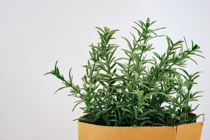 küchenkräuter pflanzen rosmarin pflegen im topf