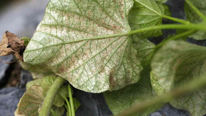 pflanzen retten bestes mittel gegen spinnmilben selber machen