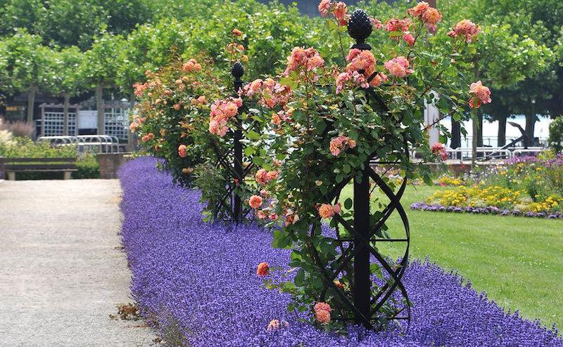 rosen schneiden februar heckenrosen schneiden rosen schneiden im herbst kletterrosen rosa im garten