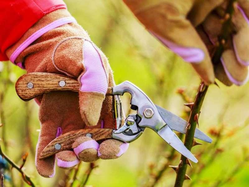 rosen schneiden im herbst rosendünger herbst wann schneidet man kletterrosen strauchrosen richtig schneiden