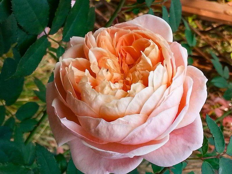 rosen schneiden winter rosen zurückschneiden herbst rosenschnitt im herbst große teerose