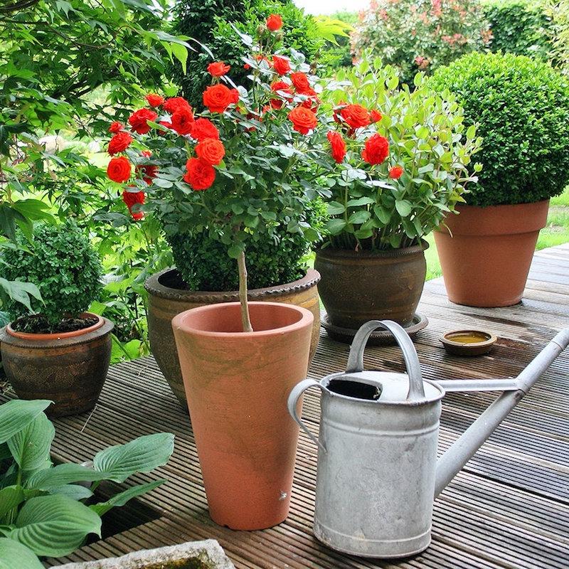 rosen verschneiden terrassenrosen im topf pflegen wie schneidet man rosen rotes rosenbaum
