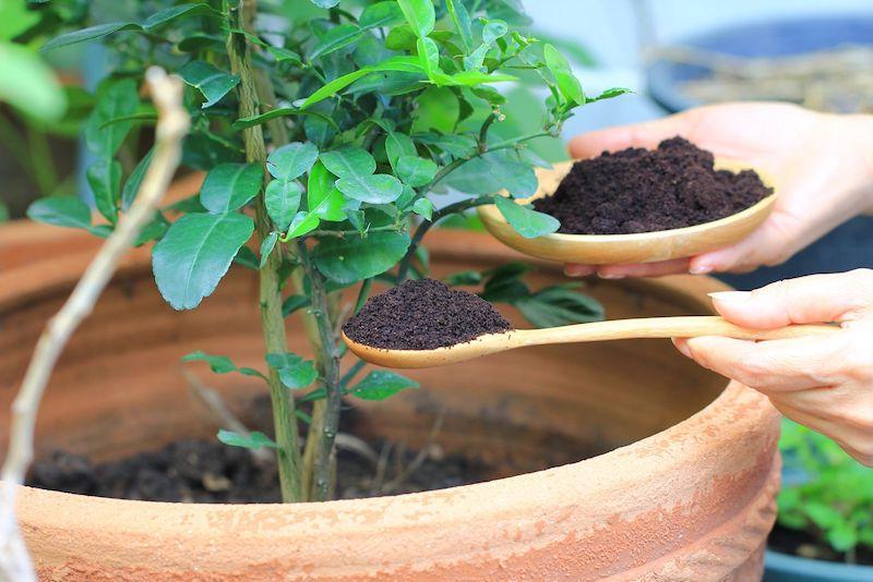 rosenschnitt im herbst rosen schneiden und richtig pflegen kaffeesatz als organischen düngen im rosenropf geben