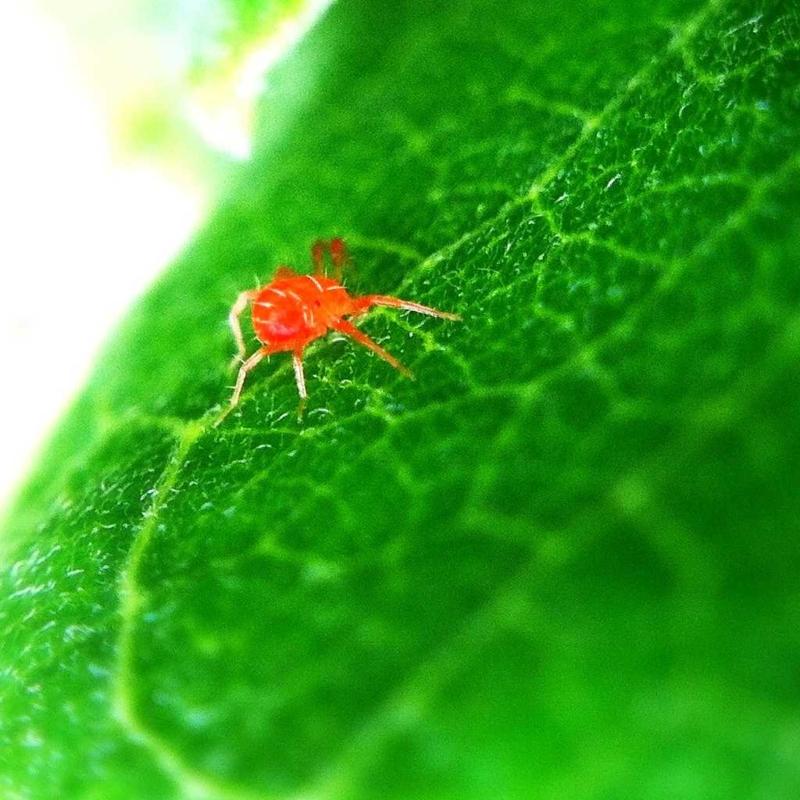 rote spinnmilbe auf eine grüne pflanze neemöl gegen spinnmilben