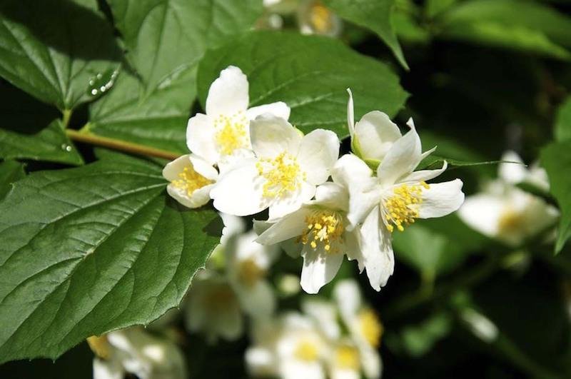 solanium jasminoides sternjasmin jasmin blume jasmin kletterpflanze winterhart echter jasmin blüte