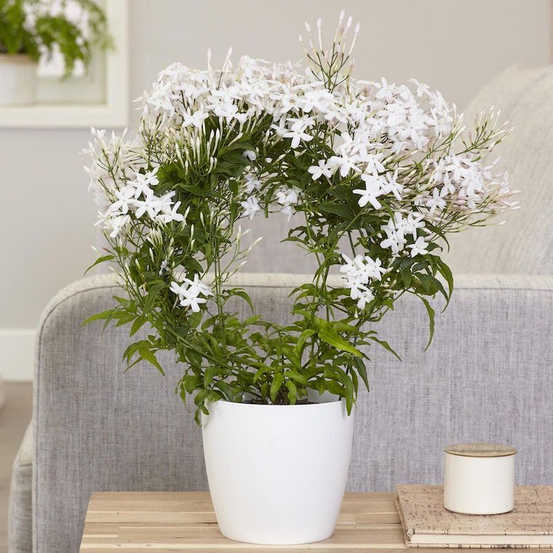 sommerjasmin schneiden jasmin busch jasmin kletterpflanze kleiner sommerjasmin in weißem topf hausdeko