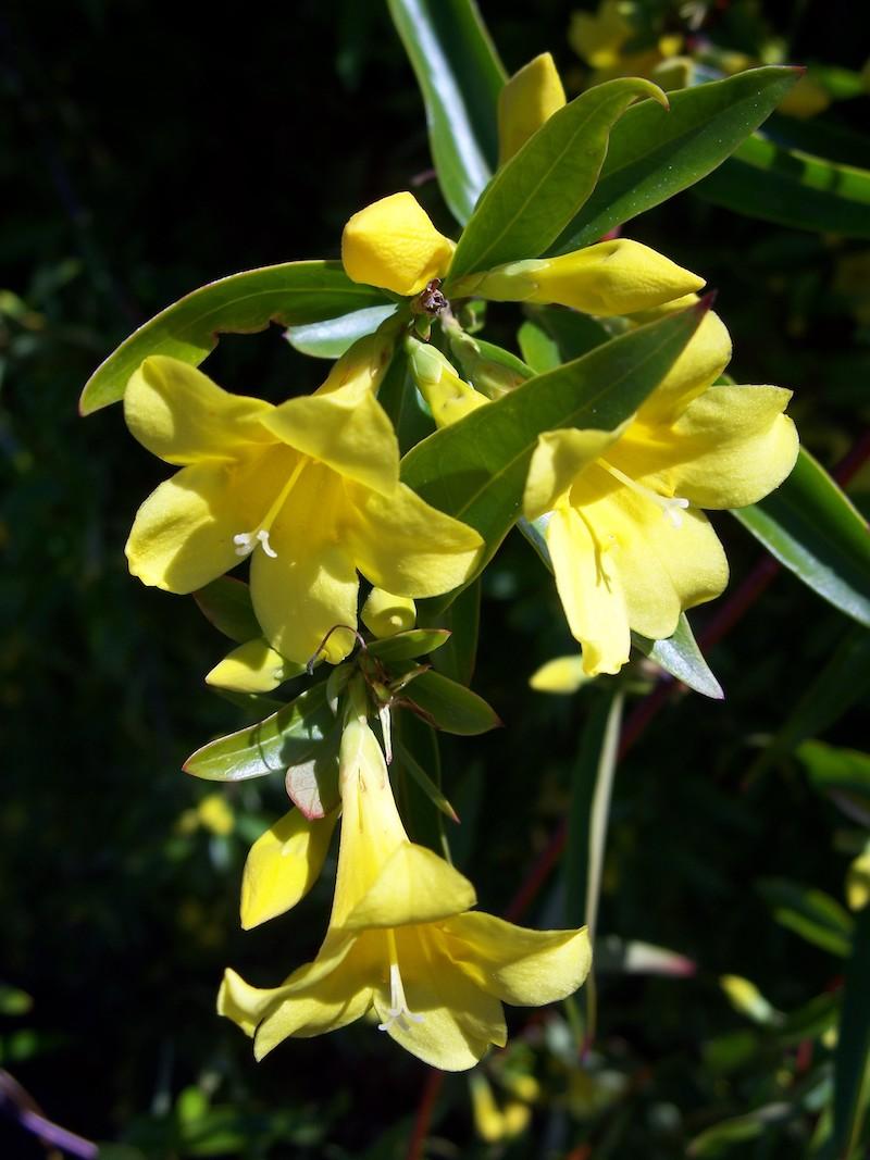 sommerjasmin überwintern jasmin busch jasmin baum kletterpflanz carolina jasmin gelbe blüte