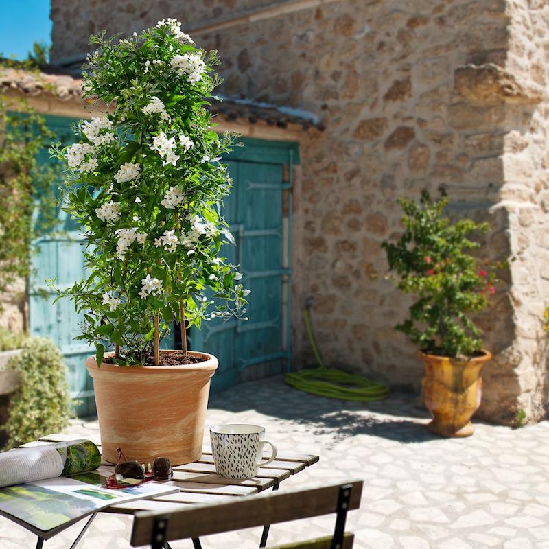 sommerjasmin überwintern jasminbaum solanum jasminoides kletterpflanze im kübel garten