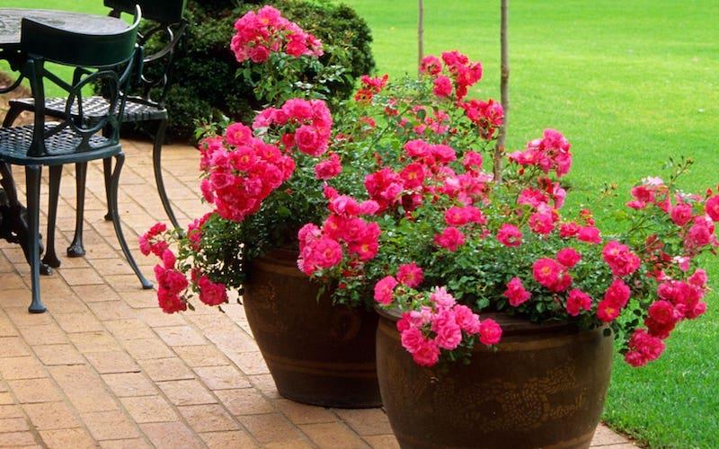 sup roses high res 1 trans nvbqzqnjv4bq42ldfykv327jduritk9qsj w5ekne7zhjcvsav35kjk