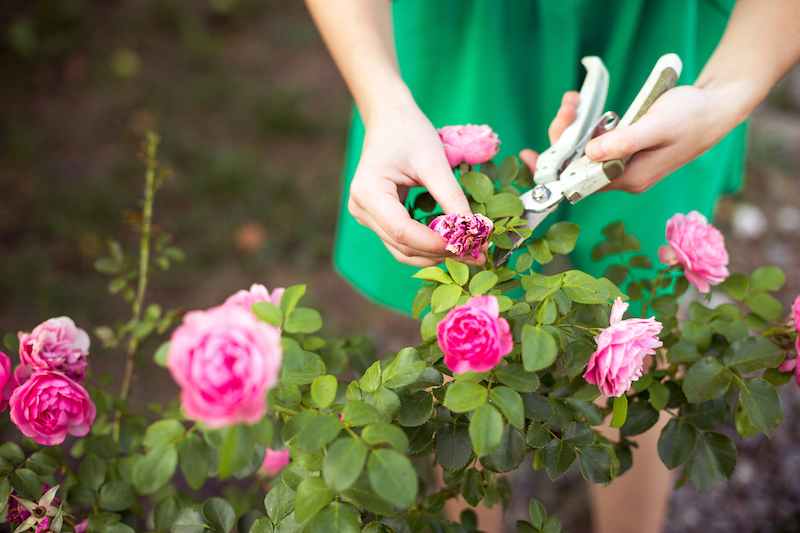 girl,cuts,or,trims,the,bush,(rose),with,secateur,in