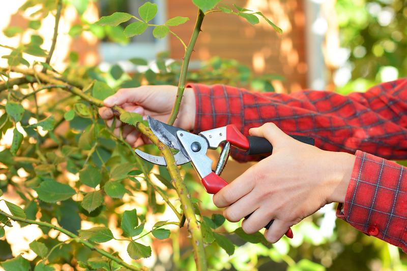 wann muss man rosen vor dem winter schneiden rosen schnieden herbst kletterrosen schneiden mit rosenscheren