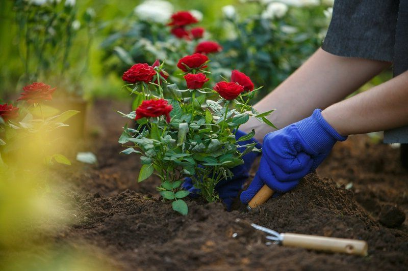 wann rosen schneiden im herbst wie schneide ich rosen im herbst zurück rosenbusche im garten pflanzen