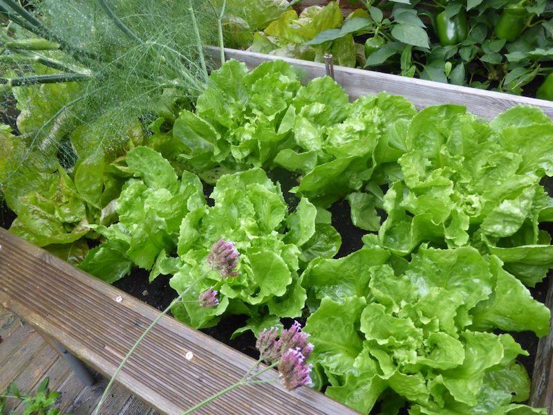 was kann ich jetzt noch aussäen hochbeet grüner salat im topf