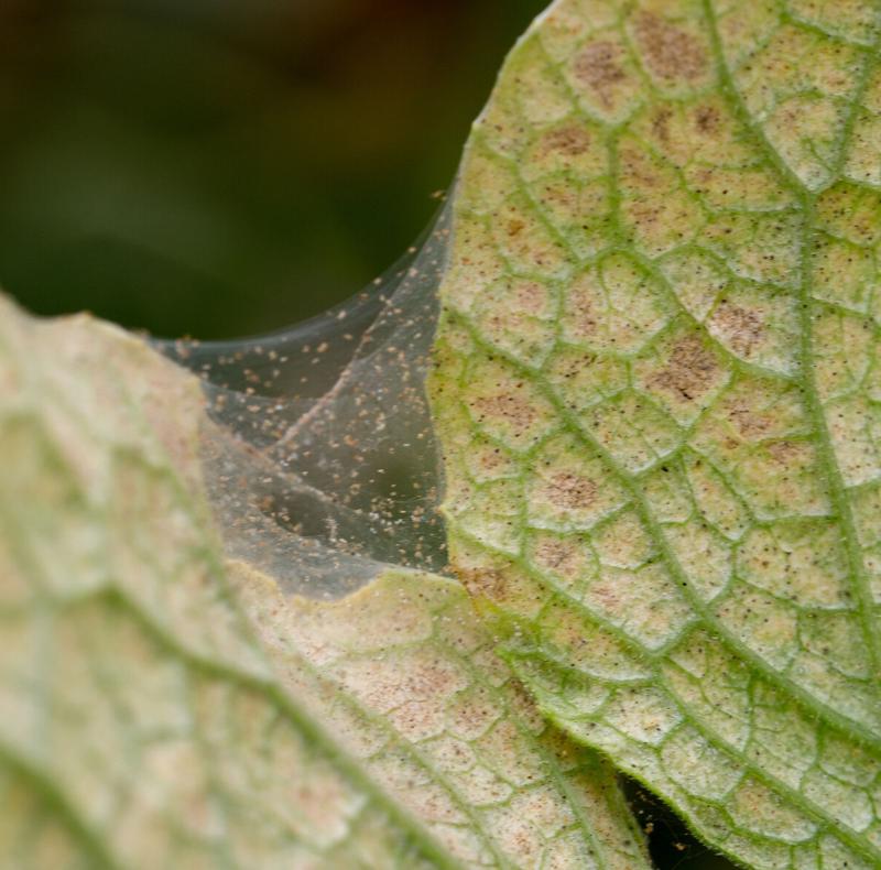 wie erkennen sie spinnmilben diy mittel spinnenweben an pflanzen vertreiben