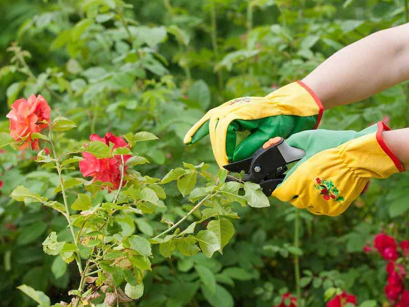 wie schneide ich rosen im herbst wann rosen schneiden vor dem winter strauchrosen richtig schneiden
