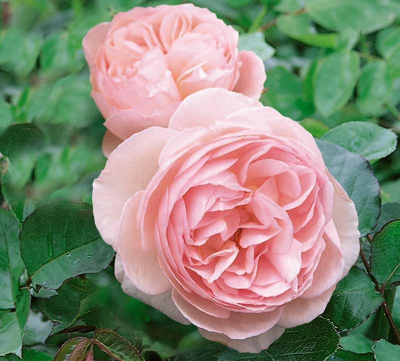 heritage david austin english rose
