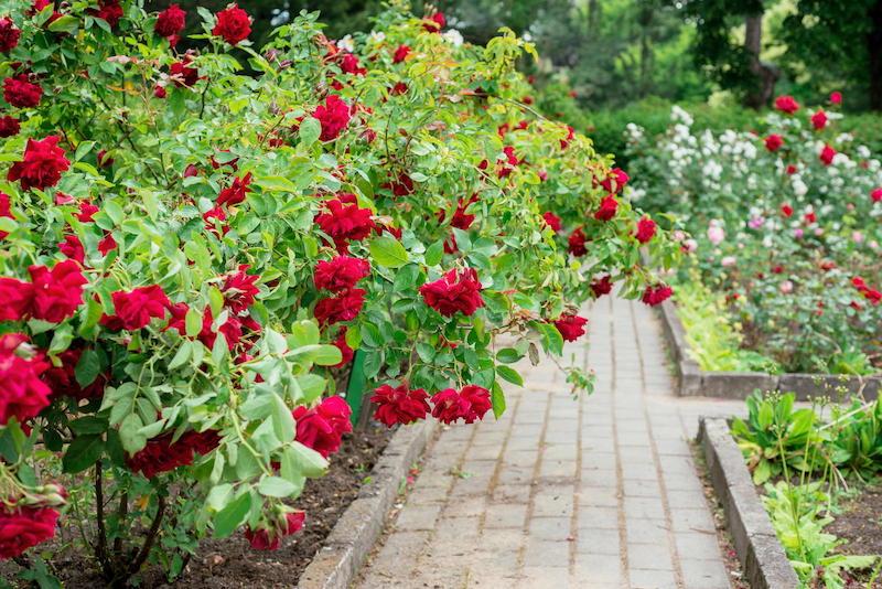 wie schneidet man rosen strauchrosen rosen pinzieren großer roten rosenstauch im hof