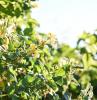 winterharte immergrüne kletterpflanzen für kübel der gelbe winterjasmin auf sonneschein im garten