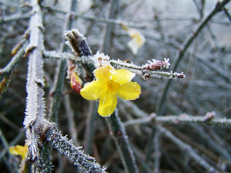 winterharte immergrüne kletterpflanzen für kübel der gelbe winterjasmin mit frost