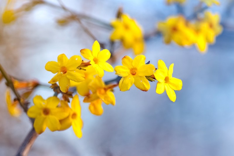 winterharter jasmin kletter jasmin winterhart weöcher jasmin ist winterhartwinterjasmin gelbe blüte
