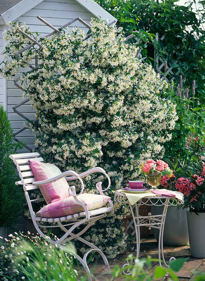 trachelospermum jasminoides (sternjasmin)