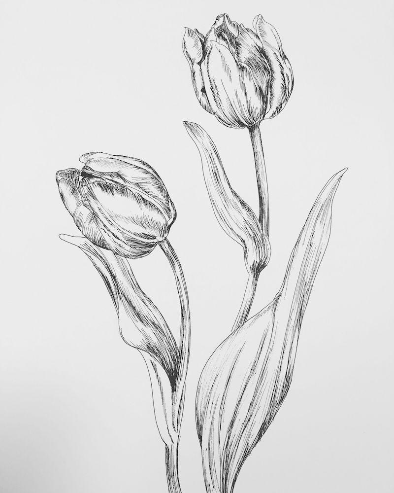 zeichenideen zwei tulpen mit blättern illustriert mit bleistift