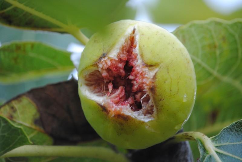 feige schneiden wann fängt ein feigenbaum an zu blühen reife feigenfrucht