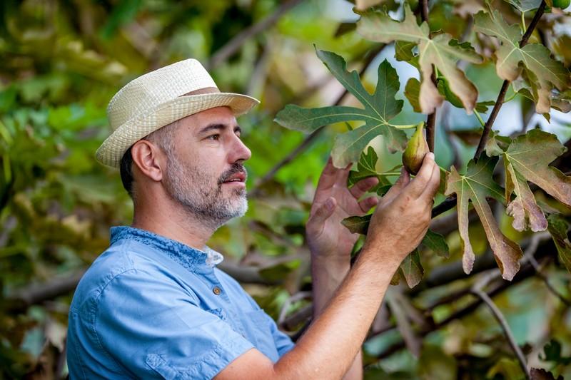 mature farmer picking figs
