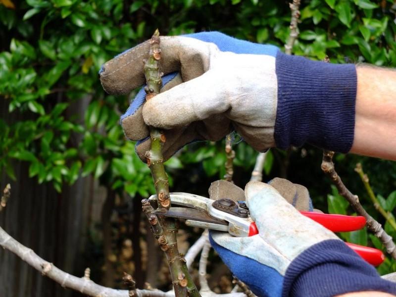 feigenbaum schneiden wie oft muss man einen feigenbaum gießen mann schneidet feige