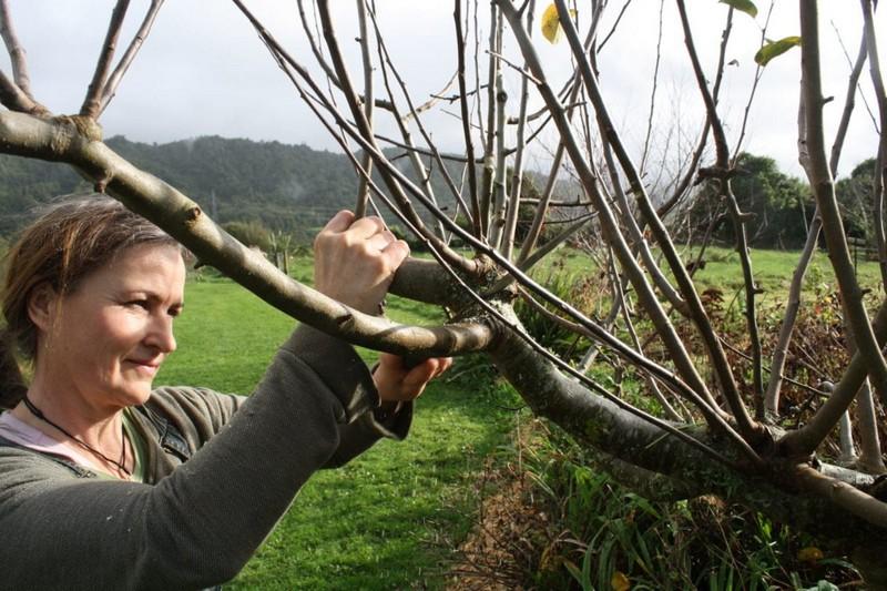 feigenbaum schneiden wie pflegt man einen feigenbaum frau schneidet einen feigenbaum