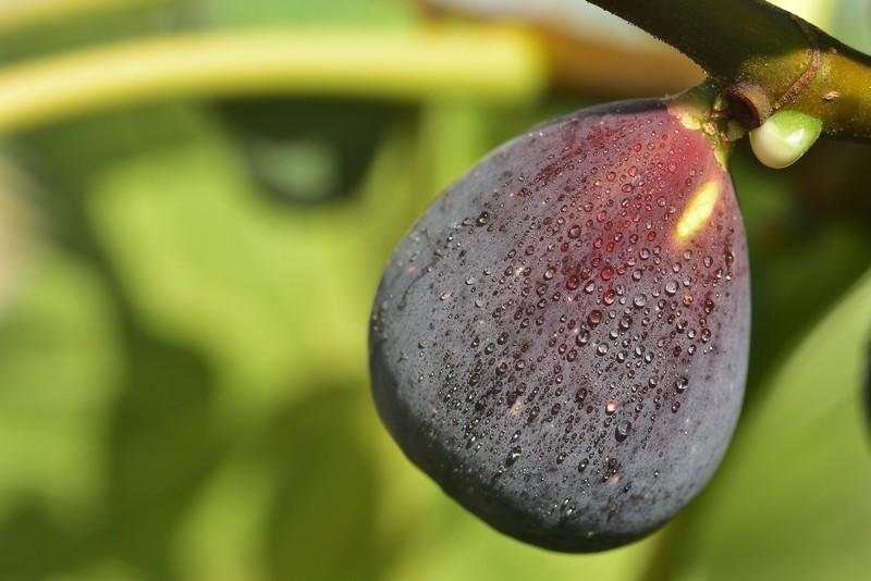 feigenbaum vermehren wie lange braucht ein feigenbaum bis er früchte trägt frische feige am baum