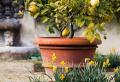 Zitronenbaum überwintern – Informationen und Tipps