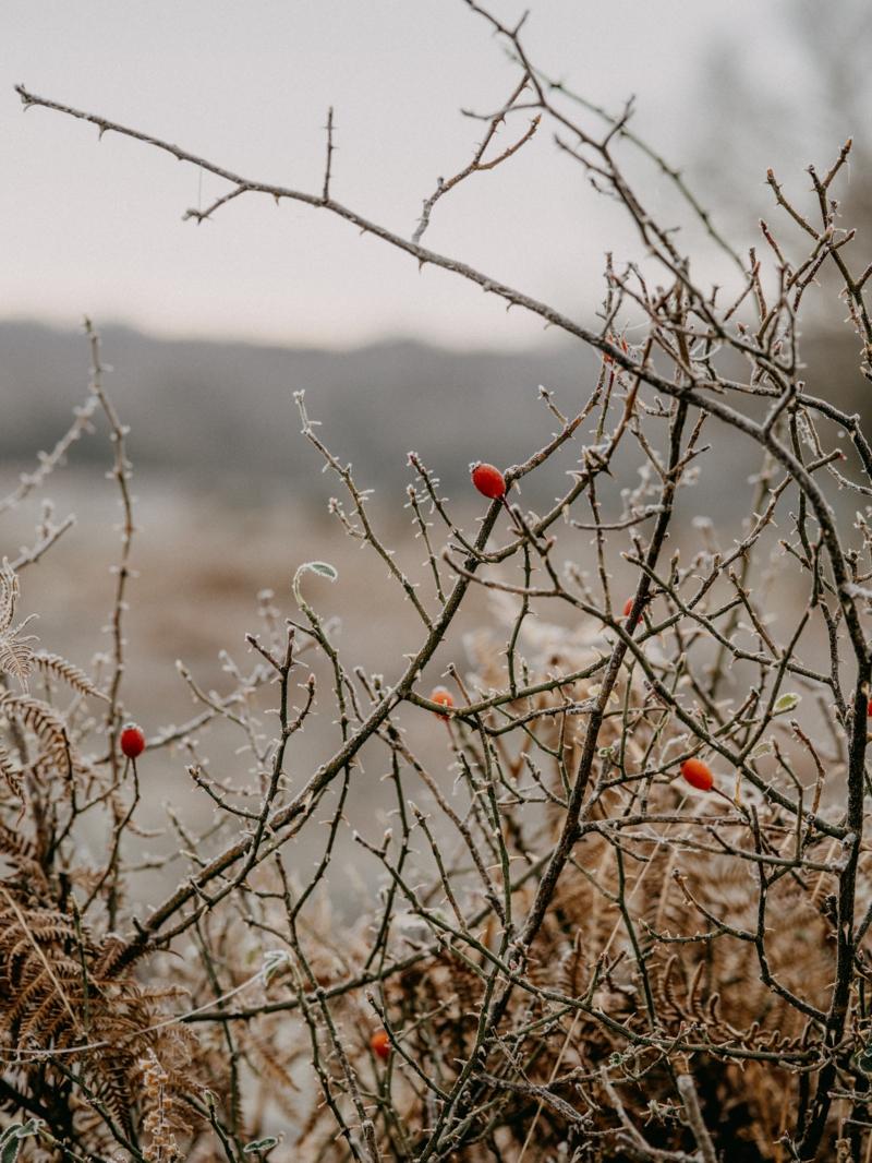 herbst hagebuttentee selber machen hagebutten nach tem frost ernten rote hagebutten