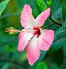hibiskus schneiden gartentipps tipps für hobbygärter rosa blume