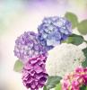 hortensien winterhart hortensien im topf freiland hortensien unterschiedliche farben hortensien
